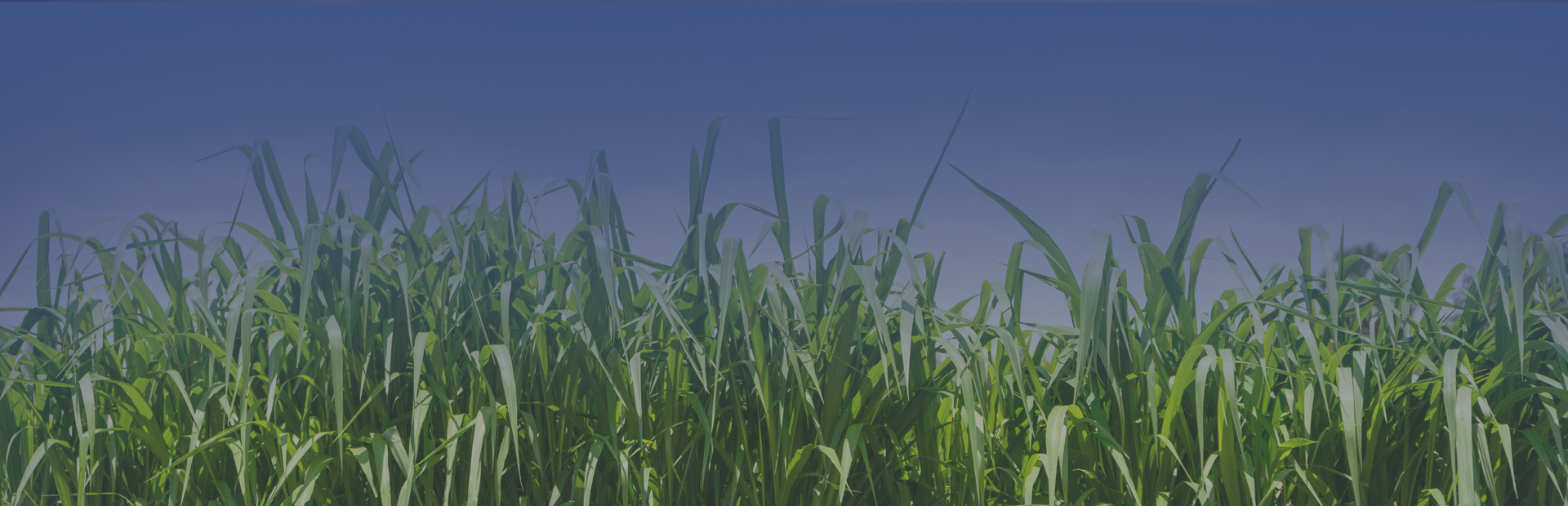 sugarcane leaves banner